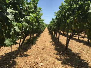 oenolog-ro-lyrarakis-winery-vineyard-crete-best-wines